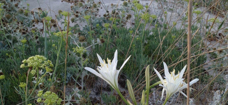 Flora Spontanea Dune di greco Isola di Cavallo